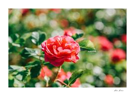 Beautiful Pink Roses Garden In Summer