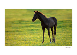 Lonely foal standing in field at sunset