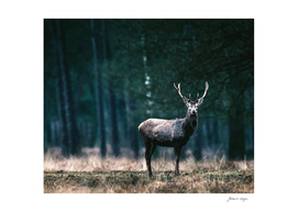 Red deer stag solitary in forest meadow
