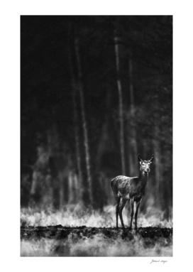 Red deer doe standing solitary in forest meadow