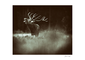 Solitary red deer stag with big antlers standing in heath.