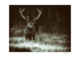 Solitary red deer stag with big antlers.