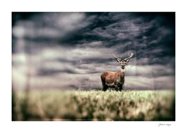 Red deer stag in field under dark stormy sky