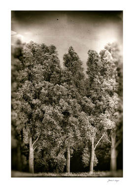 Tall trees in the wind