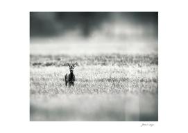 Roe deer buck in field