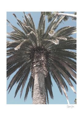 Laguna Palm