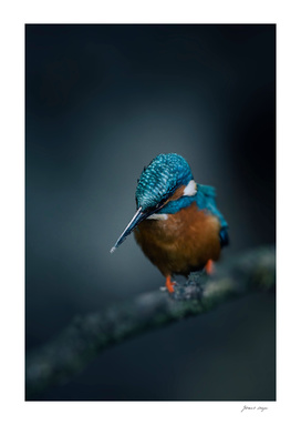 Kingfisher on branch looking down or fish