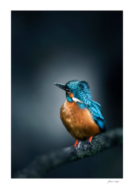 Kingfisher with crest in the wind