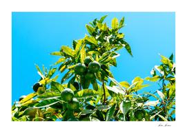 Green Oranges In Orange Tree