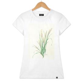 Korean Feather Reed Grass