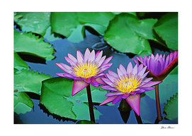 Purple Water Lilies in Pond