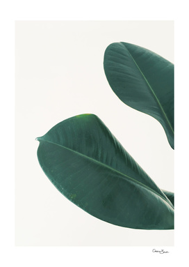 Rubber Fig Leaves I