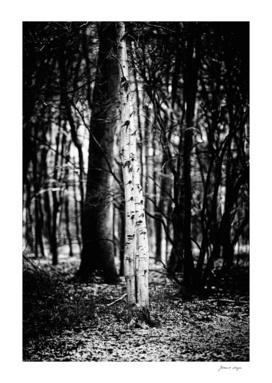 Two birch trunks in snowy winter forest.