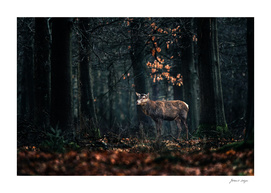 Red deer with thrown off antlers in autumn forest