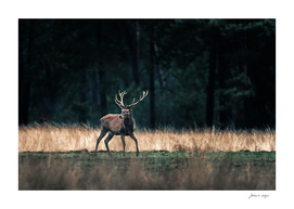 Red deer stag standing with legs wide in forest meadow