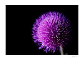 Melancholy Thistle (Cirsium helenioides)
