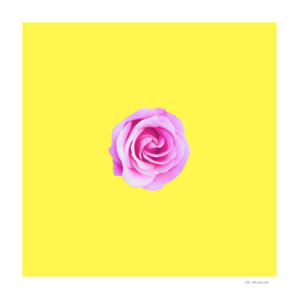 closeup pink rose with yellow background