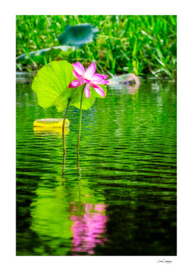 Large pink lotus flower at Corroboree Wetlands, Australia