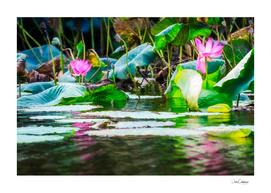 Sacred lotus with large pink flowers at Corroboree Billabong