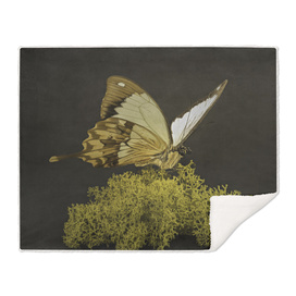 Madagascan Mocker Swallowtail Butterfly isolated on Moss