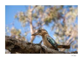 Kingfisher Blue-winged Kookaburra at Katherine, Australia