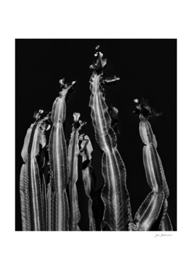 Cactus - black and white