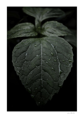 Botanical Still Life Photography Drops On Leaf