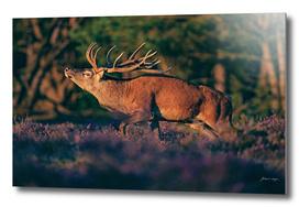 Red deer stag in rutting season