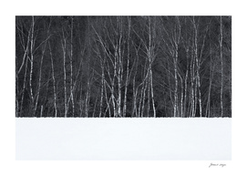 Birch trees in snow winter landscape