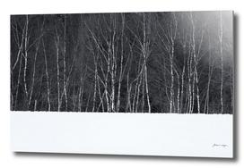 Birch trees in snow winter landscape