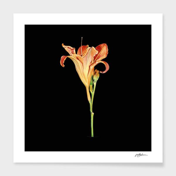 Watercolour Daylily main illustration