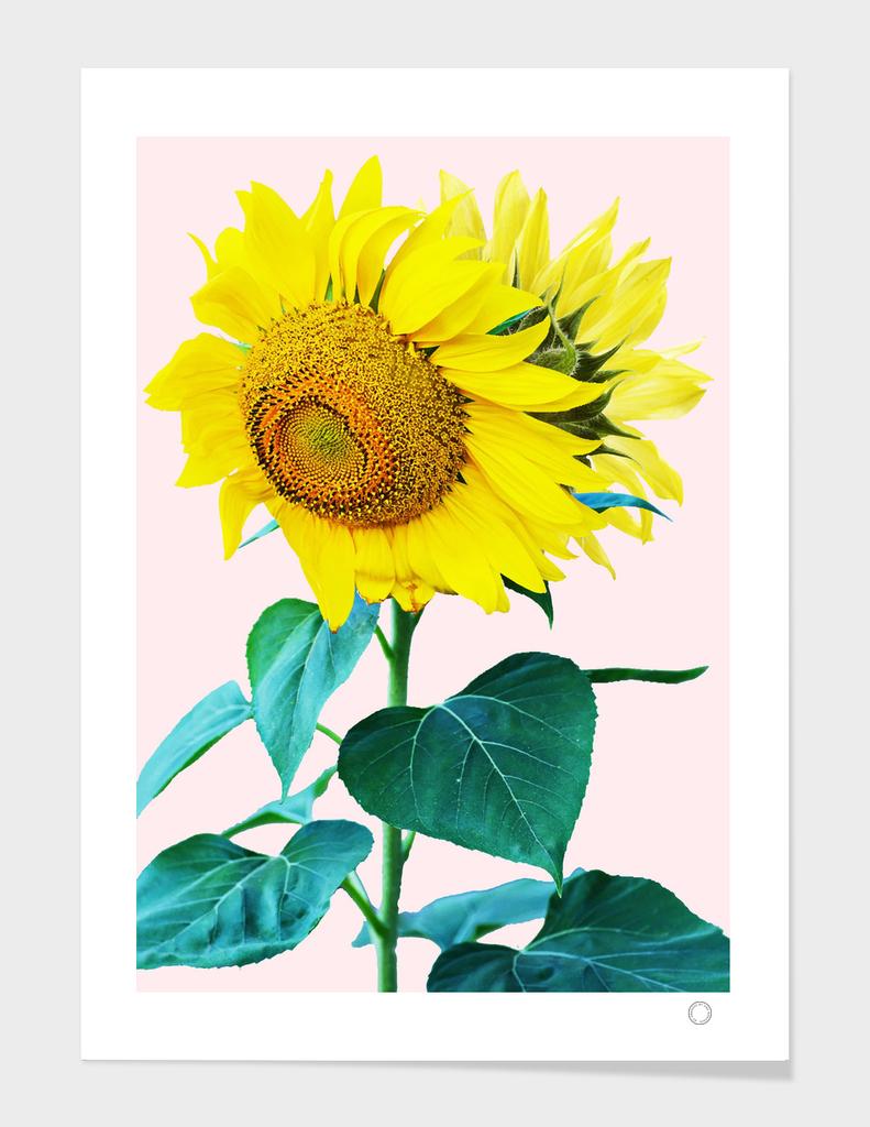 Sunflowers single main illustration