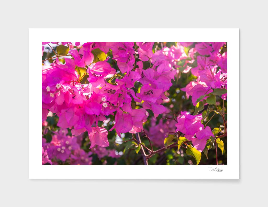 Pink Bougainvillea main illustration