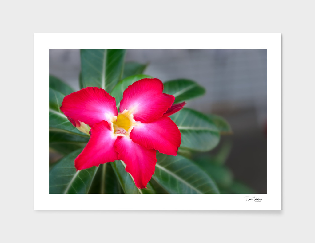 Resplendent exotic flower -Adenium Obesum main illustration