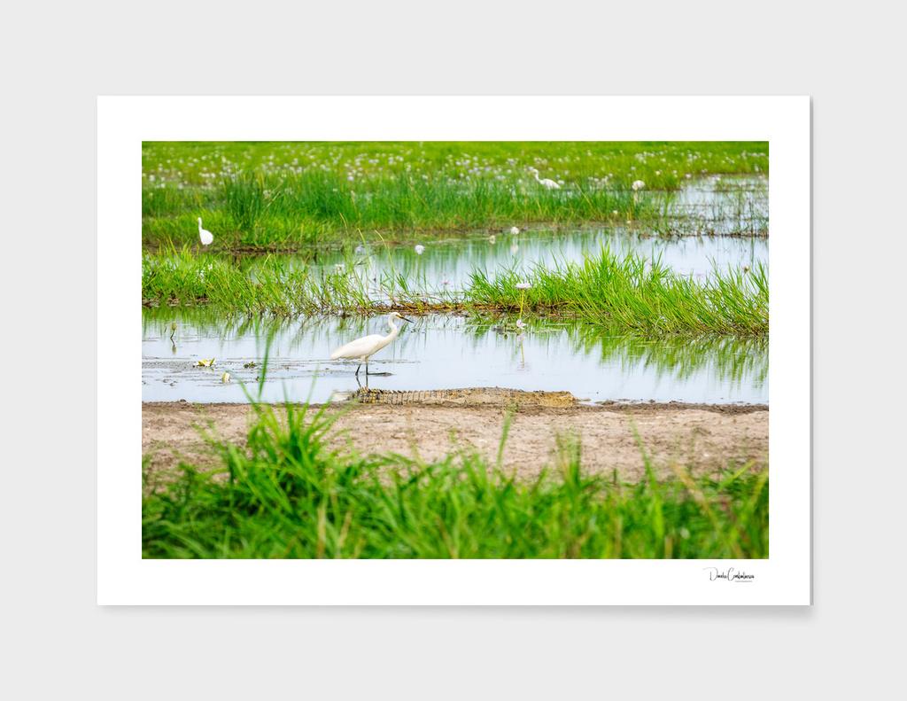 An Egret is in danger at Corroboree Wetlands, Australia