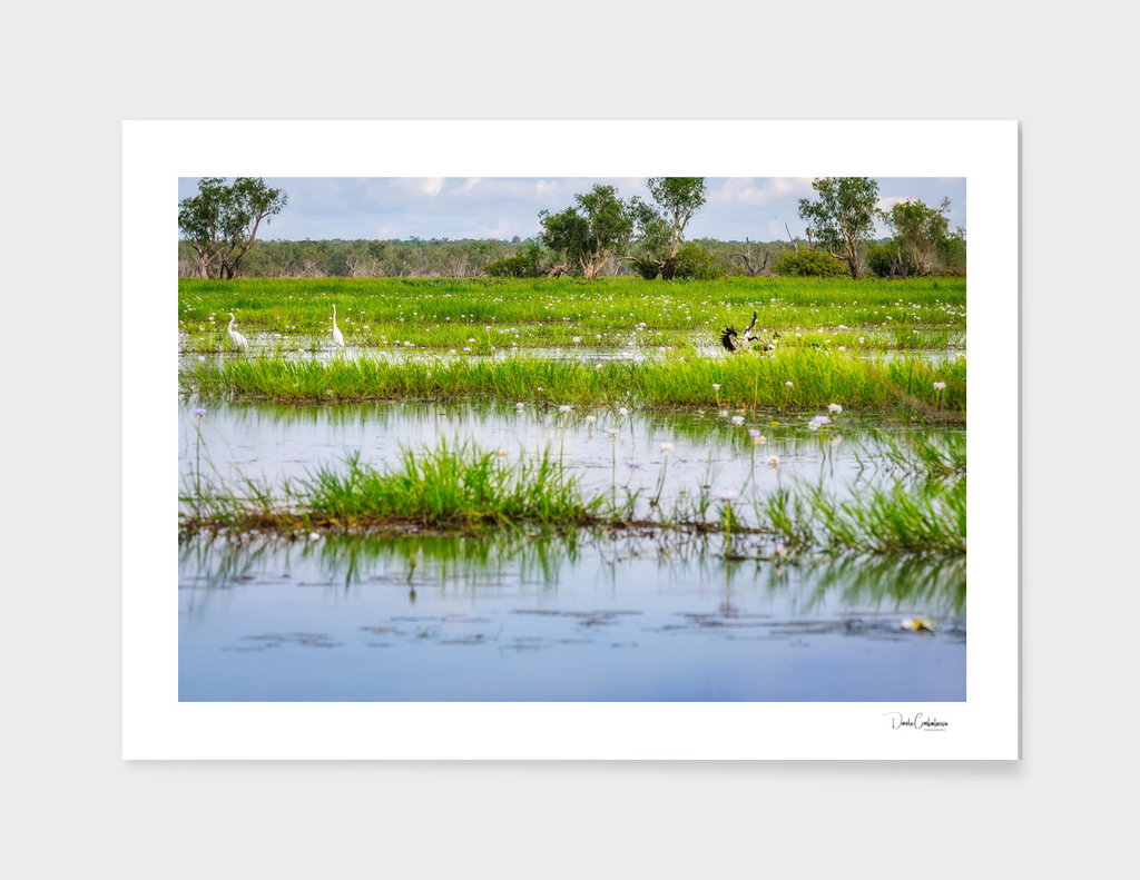 Great Egrets and Magpie Geese at Corroboree Billabong