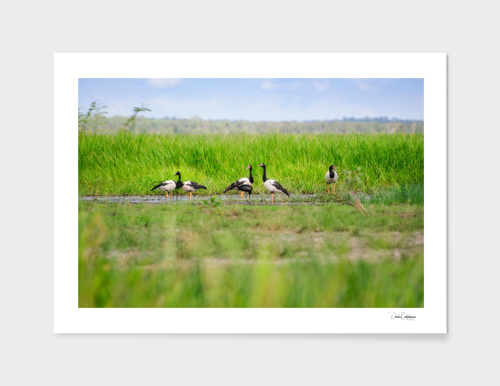 Several Magpie Geese in the grass at Corroboree Billabong