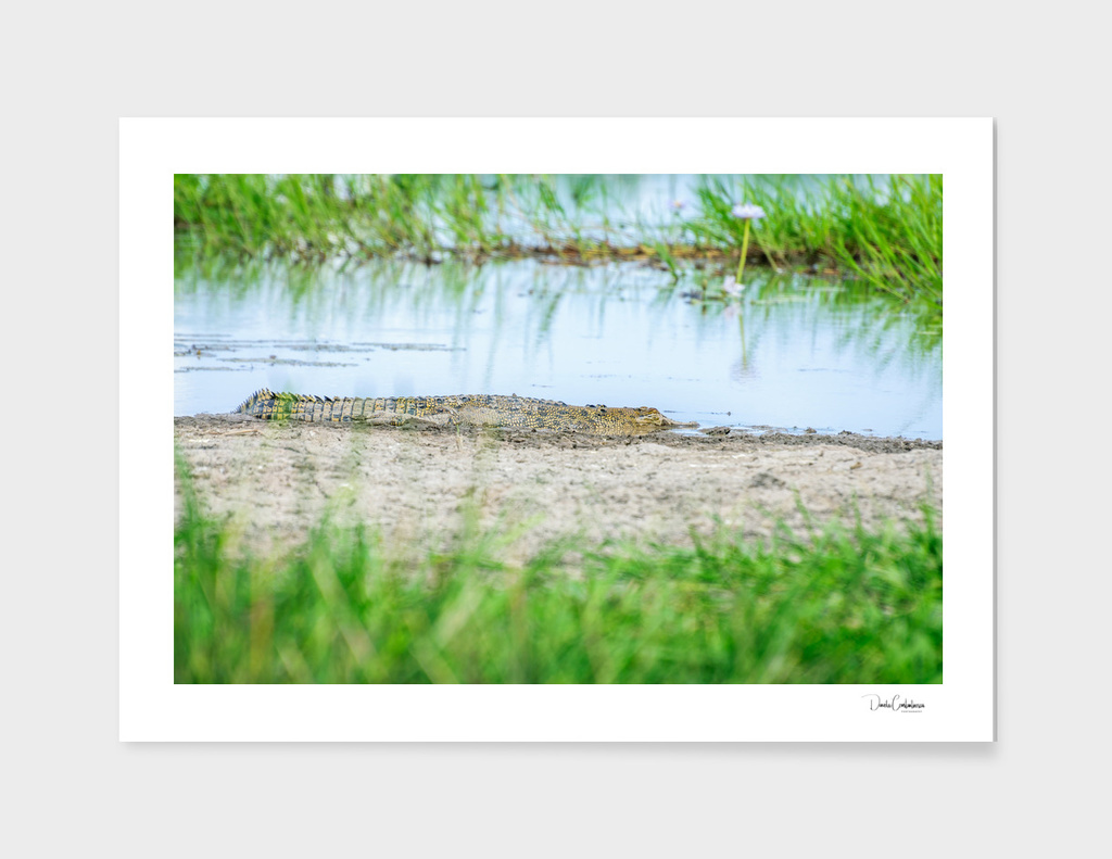 A young saltwater crocodile in Northern Territory, Australia