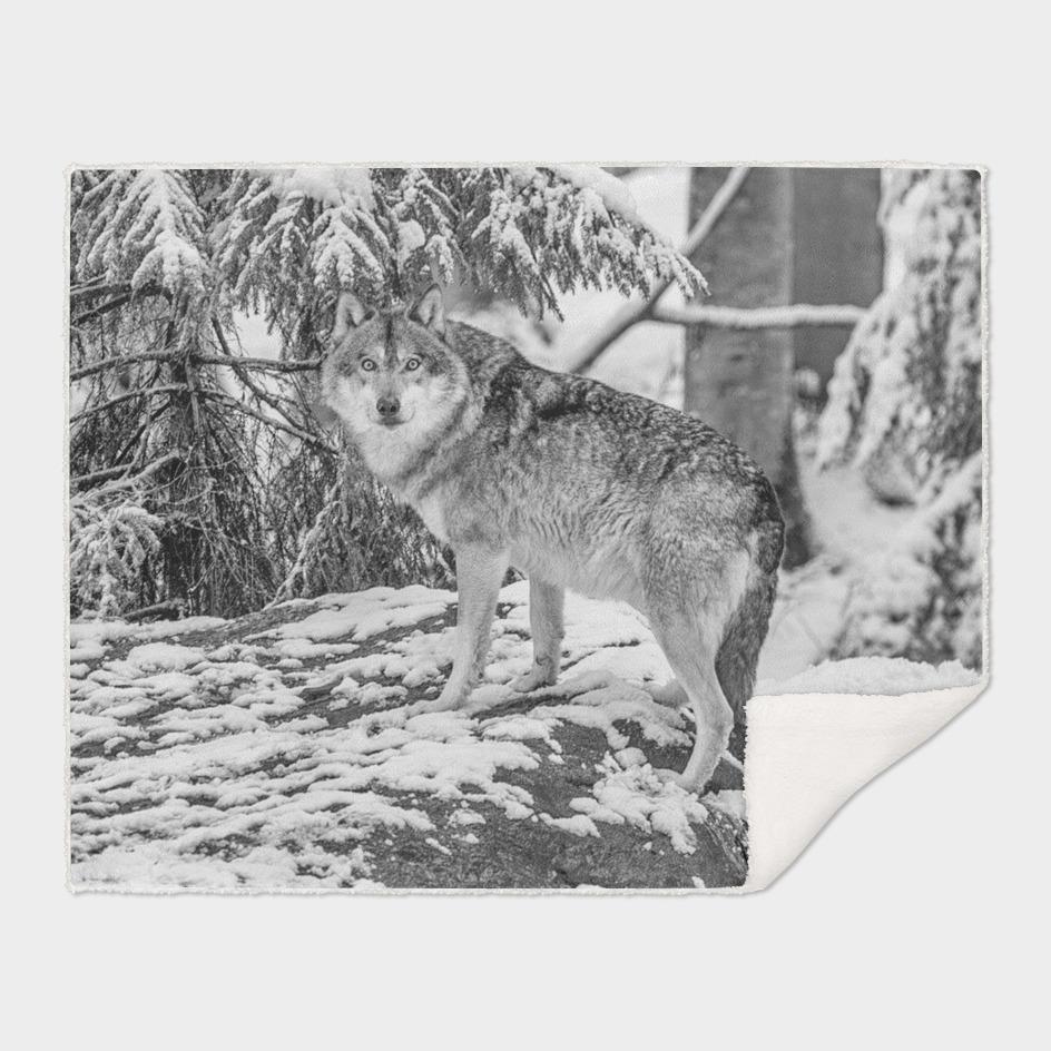 Eurasian Grey Wolf (Black & White Edition)
