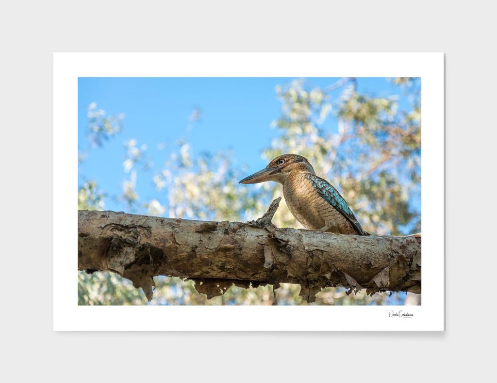 Kingfisher Blue-winged Kookaburra, Australia