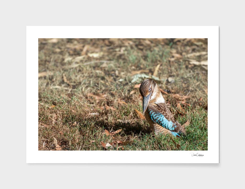 Kookaburra giving us a 'look' at Katherine, Australia