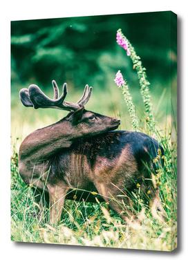 Fallow deer buck with velvet antlers in flower field
