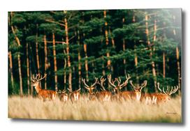 Herd of red deer stag with velvet antlers in sunlight