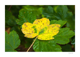 Colourfull autumnleaf