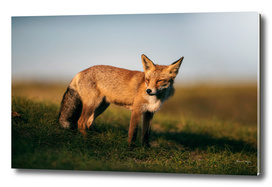 Red fox on grassy hill