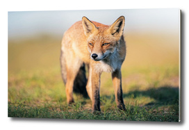Red fox in sunlight in field