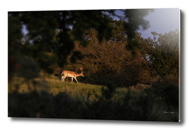 Fallow deer buck in field lit by low sunlight