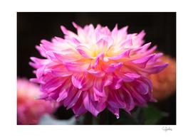 Pink Dahlia Color Explosion