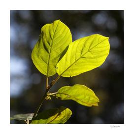 Beaitiful leafs in sunlight