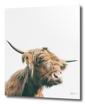 Majestic Highland cow portrait
